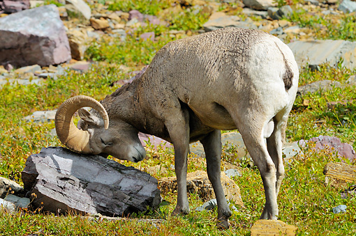 WLD 15 TL0035 01 © Kimball Stock Bighorn Sheep Ram Rubbing Horns On Rock