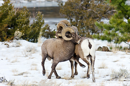 WLD 15 TL0037 01 © Kimball Stock Rocky Mountain Bighorn Sheep Shoving And Kicking To Display Dominance, Rocky Mountains