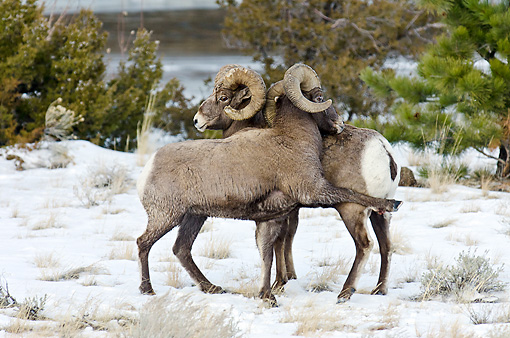 WLD 15 TL0038 01 © Kimball Stock Rocky Mountain Bighorn Sheep Shoving And Kicking To Display Dominance, Rocky Mountains