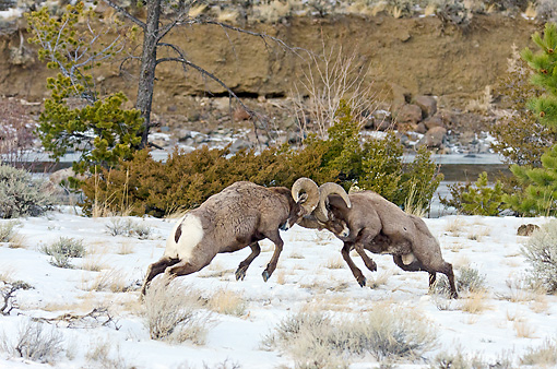 WLD 15 TL0039 01 © Kimball Stock Rocky Mountain Bighorn Sheep Head Butting During Fall Rut, Rocky Mountains