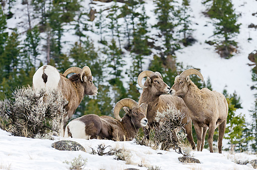 WLD 15 TL0040 01 © Kimball Stock Rocky Mountain Bighorn Sheep Gathering On Hillside, Rocky Mountains