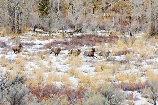 WLD 15 TL0041 01 © Kimball Stock Bighorn Sheep Rams Chasing Ewe To Mate, Rocky Mountains