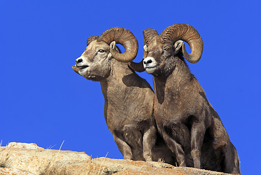 WLD 15 WF0002 01 © Kimball Stock Two Bighorn Sheep Standing On Rock In Rocky Mountains