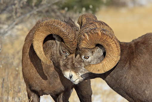 WLD 15 WF0003 01 © Kimball Stock Close-Up Of Two Bighorn Sheep Head To Head