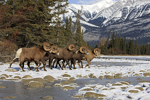 WLD 15 WF0004 01 © Kimball Stock Group Of Bighorn Sheep Walking Along Snowy Riverbank Jasper National Park