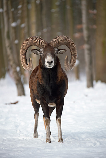 WLD 15 WF0006 01 © Kimball Stock Portrait Of Mouflon Ram Standing In Snow
