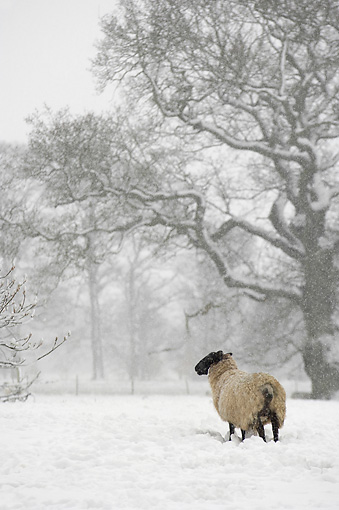 WLD 15 WF0007 01 © Kimball Stock Suffolk Ram And North Country Mule Ewe Hybrid Standing In Snow