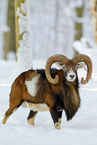 WLD 15 WF0008 01 © Kimball Stock Mouflon Ram Male Standing In Snow