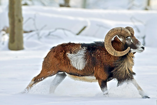 WLD 15 WF0009 01 © Kimball Stock Mouflon Ram Male Running Through Snow