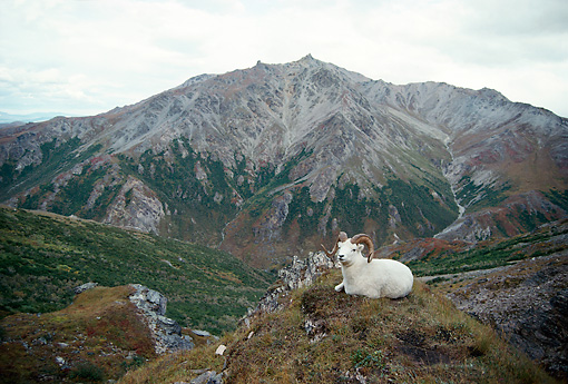 WLD 15 DB0001 01 © Kimball Stock Dall Sheep Ram Bedded On Outcrop In Denali National Park Alaska