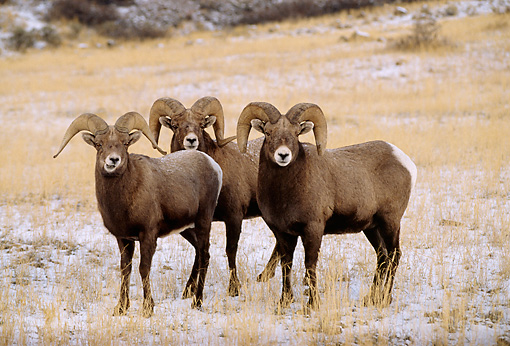 WLD 15 DB0002 01 © Kimball Stock Three Rocky Mountain Bighorn Sheep Rams Standing In Snowy Field