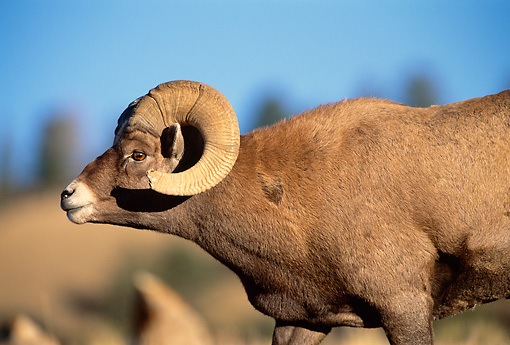 WLD 15 DB0003 01 © Kimball Stock Profile Of Rocky Mountain Bighorn Sheep Ram