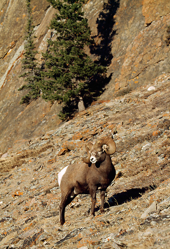 WLD 15 LS0001 01 © Kimball Stock Bighorn Sheep Ram Climbing Steep Barren Slope
