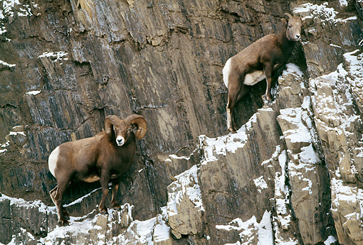 WLD 15 LS0003 01 © Kimball Stock Two Bighorn Sheep Rams Climbing Snowy Cliff Face