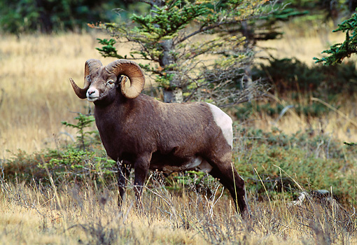 WLD 15 LS0004 01 © Kimball Stock Bighorn Sheep Ram Standing In Field By Shrubs And Trees Rocky Mountains Canada