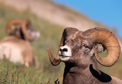 WLD 15 RF0002 01 © Kimball Stock Head Shot Of Bighorn Sheep