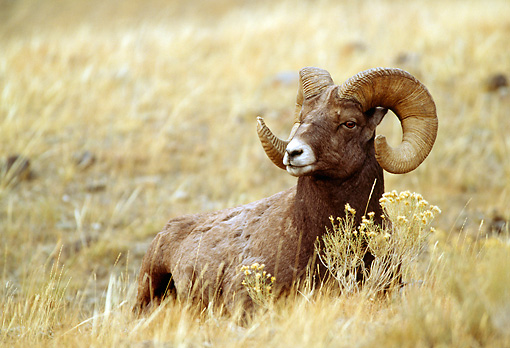 WLD 15 RF0004 01 © Kimball Stock Bighorn Sheep Ram Laying In Field Of Dry Grass