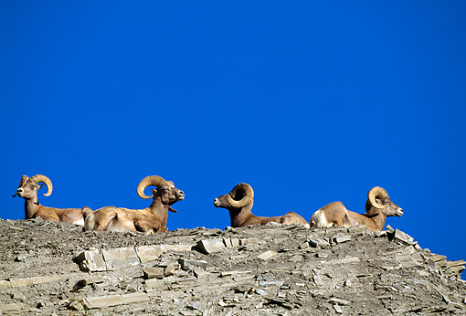 WLD 15 RF0005 01 © Kimball Stock Bighorn Sheep Rams Laying On Rocky Knoll Blue Sky