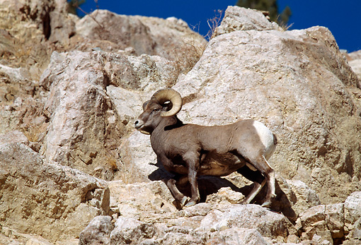 WLD 15 RF0006 01 © Kimball Stock Bighorn Sheep Ram Climbing On Rocky Peak