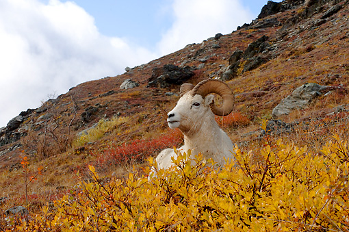 WLD 15 SK0001 01 © Kimball Stock Dall Sheep Ram Resting On Hillside Autumn Denali National Park Alaska