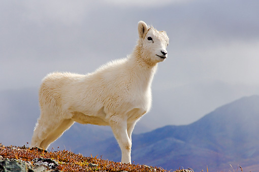 WLD 15 SK0003 01 © Kimball Stock Dall Sheep Lamb Standing On Mountainside Autumn Denali National Park Alaska