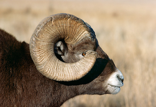 WLD 15 TK0001 01 © Kimball Stock Profile Head Shot Of Bighorn Sheep Ram