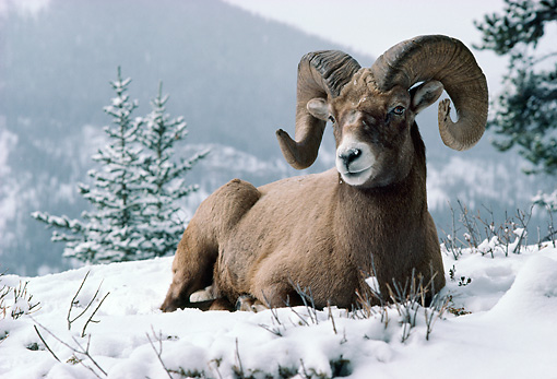 WLD 15 TK0002 01 © Kimball Stock Bighorn Sheep Ram Laying On Snow By Trees Mountains