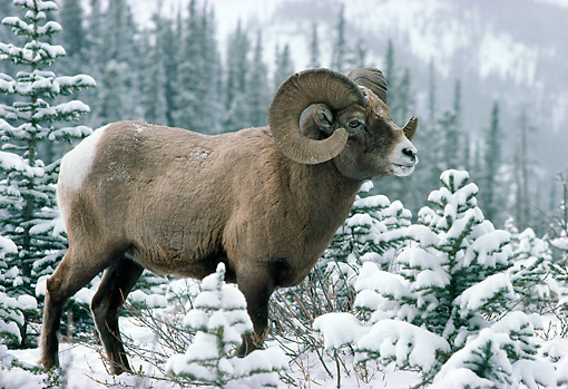 WLD 15 TK0003 01 © Kimball Stock Bighorn Sheep Ram Standing On Snow By Trees Mountains