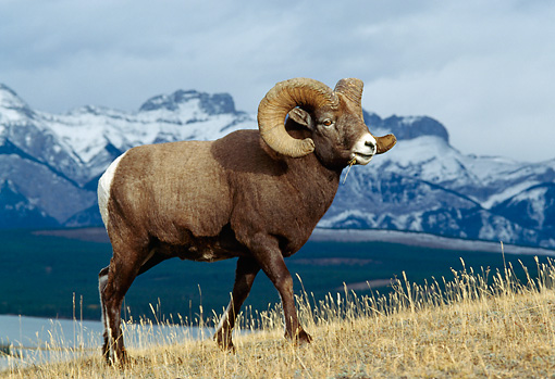 WLD 15 TK0004 01 © Kimball Stock Bighorn Sheep Ram Walking Up Slope In Mountains