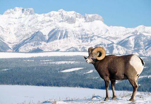 WLD 15 TK0005 01 © Kimball Stock Bighorn Sheep Ram Standing By Snow-Covered Mountains