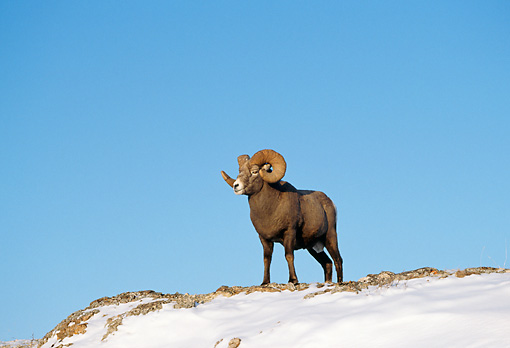 WLD 15 TK0006 01 © Kimball Stock Bighorn Sheep Ram Standing On Snow-Covered Hill Rocky Mountains