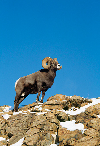WLD 15 TK0007 01 © Kimball Stock Bighorn Sheep Ram Standing On Rocky Peak With Snow Rocky Mountains
