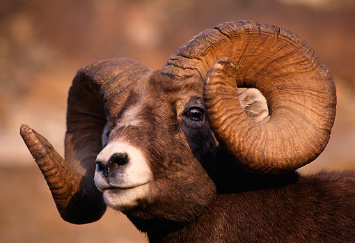 WLD 15 TL0001 01 © Kimball Stock Portrait Head Shot Of Rocky Bighorn Ram