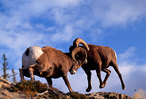 WLD 15 TL0002 01 © Kimball Stock Two Rocky Big Horn Rams Fighting