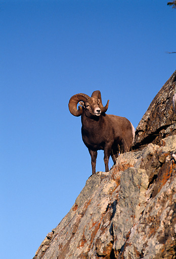 WLD 15 TL0003 01 © Kimball Stock Rocky Big Horn Ram On Top Of Rocky Mountain