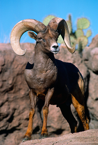 WLD 15 TL0004 01 © Kimball Stock Portrait Of Rocky Big Horn Ram