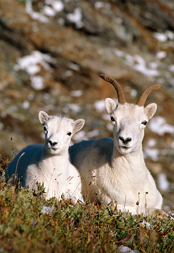 WLD 15 TL0008 01 © Kimball Stock Dall Sheep Ewe And Lamb Resting On Hillside With Snow