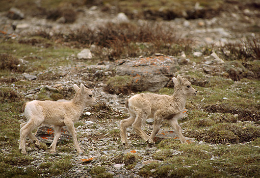 WLD 15 TL0009 01 © Kimball Stock Two Bighorn Sheep Lambs Walking On Rocky Hillside