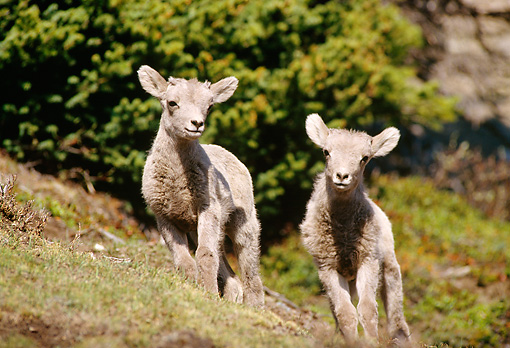 WLD 15 TL0010 01 © Kimball Stock Two Bighorn Sheep Lambs Standing Facing Camera On Steep Hillside By Shrubs