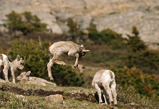WLD 15 TL0011 01 © Kimball Stock Bighorn Sheep Lamb Leaping Among Other Lambs On Rocky Hillside