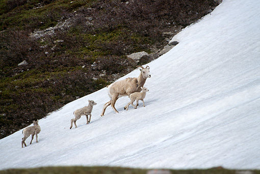 WLD 15 TL0012 01 © Kimball Stock Bighorn Sheep Ewe Climbing Snowy Slope With Three Lambs