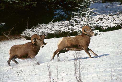 WLD 15 TL0013 01 © Kimball Stock Bighorn Sheep Ram Chasing  Ram On Snowy Hillside Shrub Background