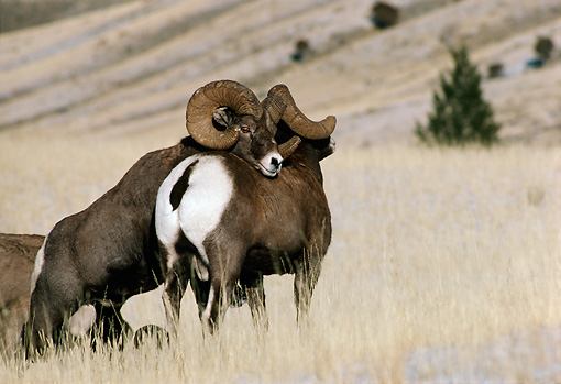 WLD 15 TL0014 01 © Kimball Stock Bighorn Sheep Ram Asserting Dominance Over Other Ram In Field With Hills And Tree In Background