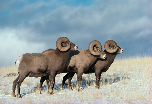 WLD 15 TL0016 01 © Kimball Stock Three Bighorn Sheep Rams Standing On Snowy Hillside Dark Cloud Background