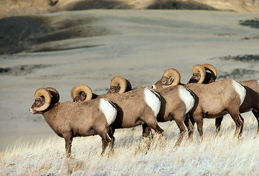 WLD 15 TL0017 01 © Kimball Stock Five Bighorn Sheep Rams Standing On Snowy Hillside Mountain Background