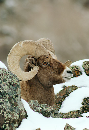 WLD 15 TL0020 01 © Kimball Stock Profile Head Shot Of Bighorn Sheep Ram Behind Snow-Covered Rocks