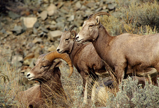 WLD 15 TL0021 01 © Kimball Stock Bighorn Sheep Ram Standing On Rocky Hillside With Two Ewes
