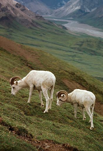 WLD 15 TL0022 01 © Kimball Stock Two Dall Sheep Rams Grazing On Hillside Of Mountain Valley