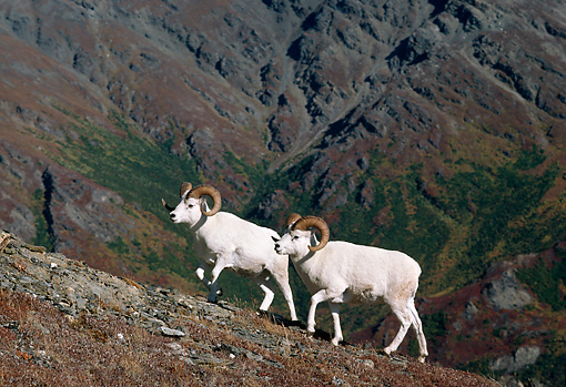 WLD 15 TL0023 01 © Kimball Stock Two Dall Sheep Rams Climbing Steep Mountain Slope