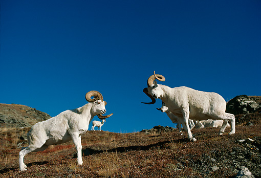WLD 15 TL0024 01 © Kimball Stock Two Dall Sheep Rams Butting Heads On Mountain Slope Blue Sky